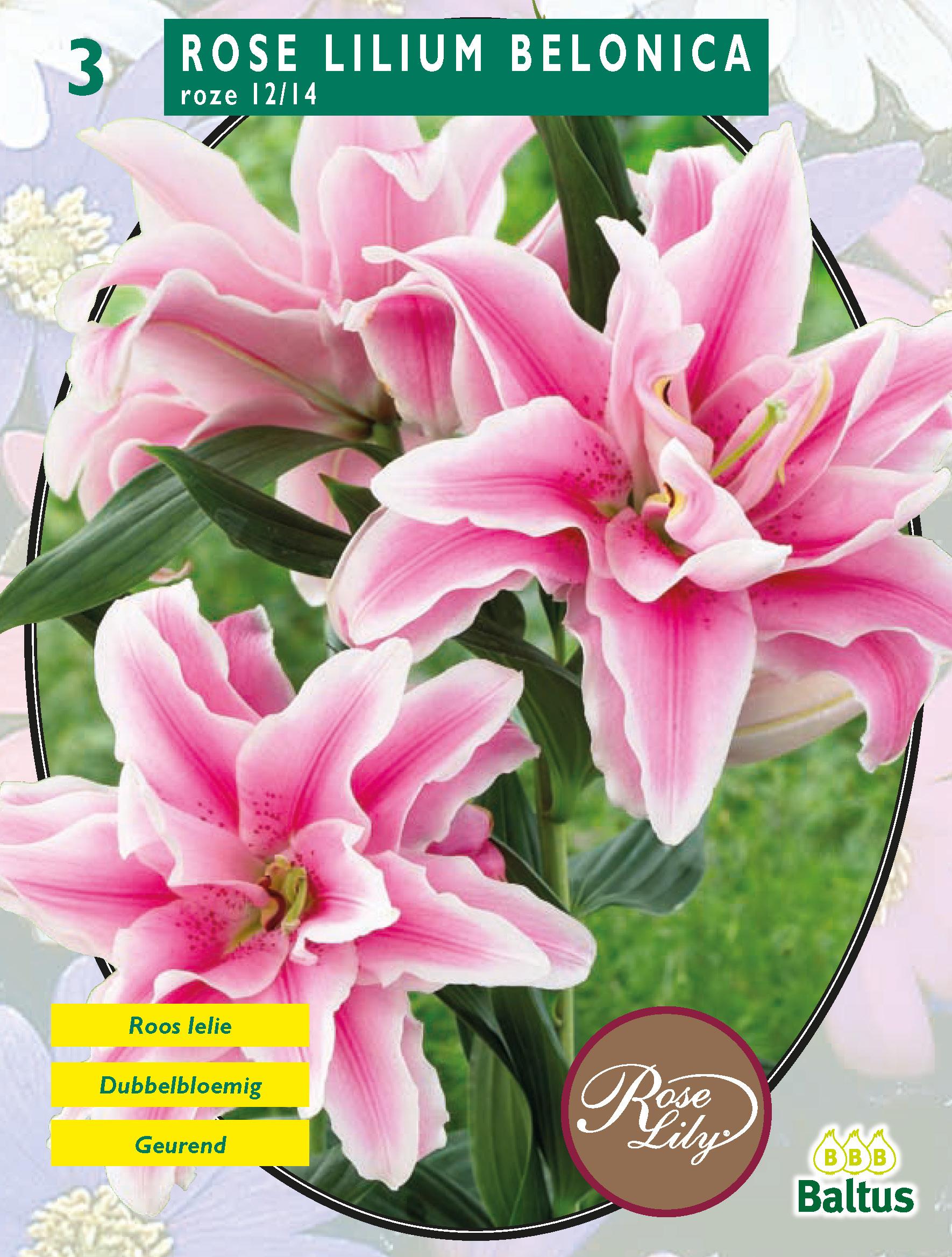 Lilie - Belonica růžová - cibule