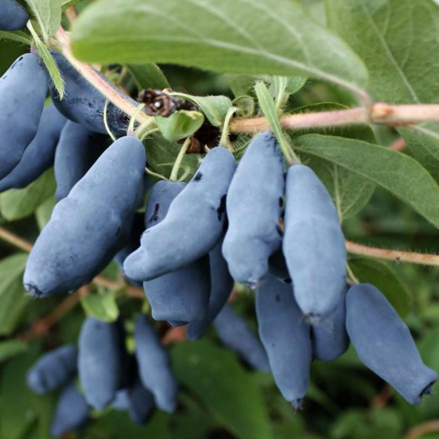 Zimolez kamčatský 'Blue Velvet'