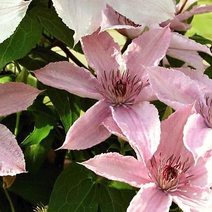 Plamének 'Hagley hybrid' - růžový