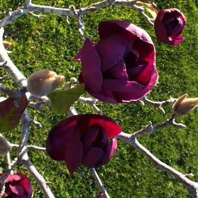 Magnolie 'Black Tulip', Šácholan ok6-8