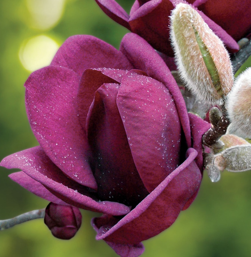 Magnolie 'Genie', Šácholan v100-125