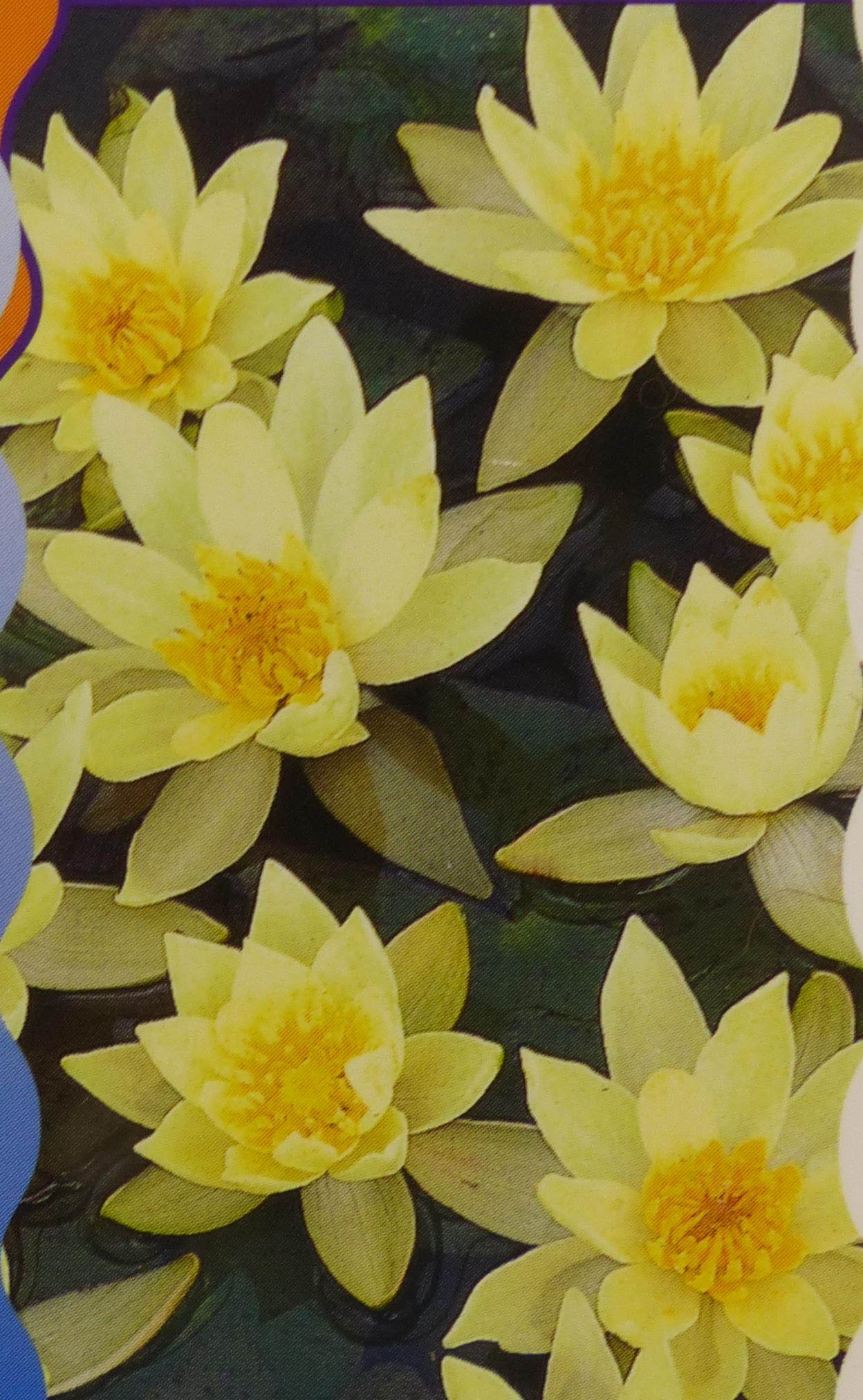 Leknín 'Pygmaea Helvola' - žlutý