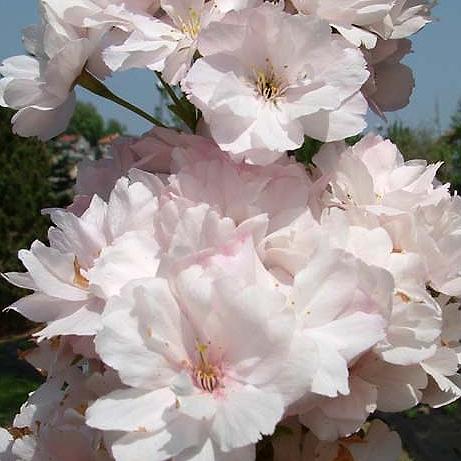 Sakura ozdobná, třešeň pilovitá 'Amanogawa'