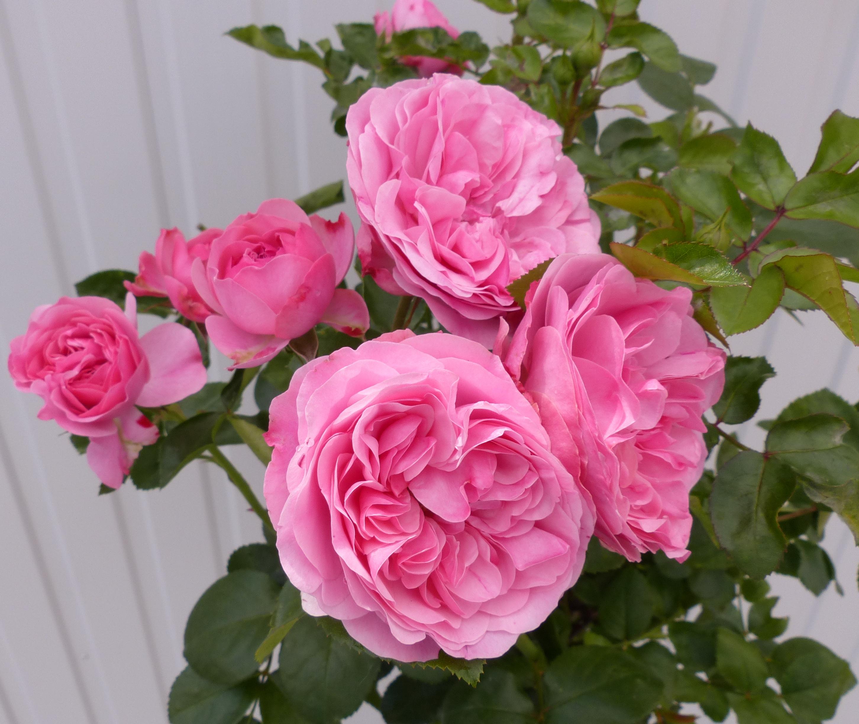 Růže ' Leonardo da Vinci'- růžová km90